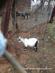 featured adoreable goat